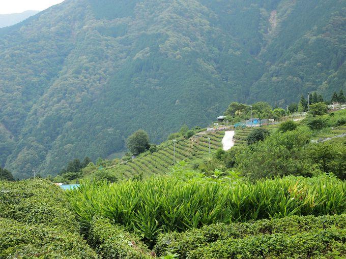山頂部まで続く茶畑
