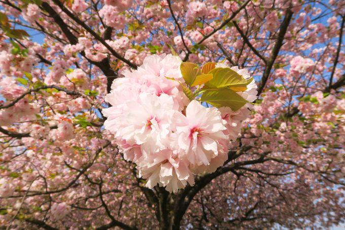 春爛漫。歩いてすぐの「桜堤」と「千曲川河川公園」