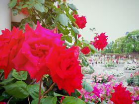 大阪「長居植物園」バラ園で優雅な時間が過ごせる都会のオアシス