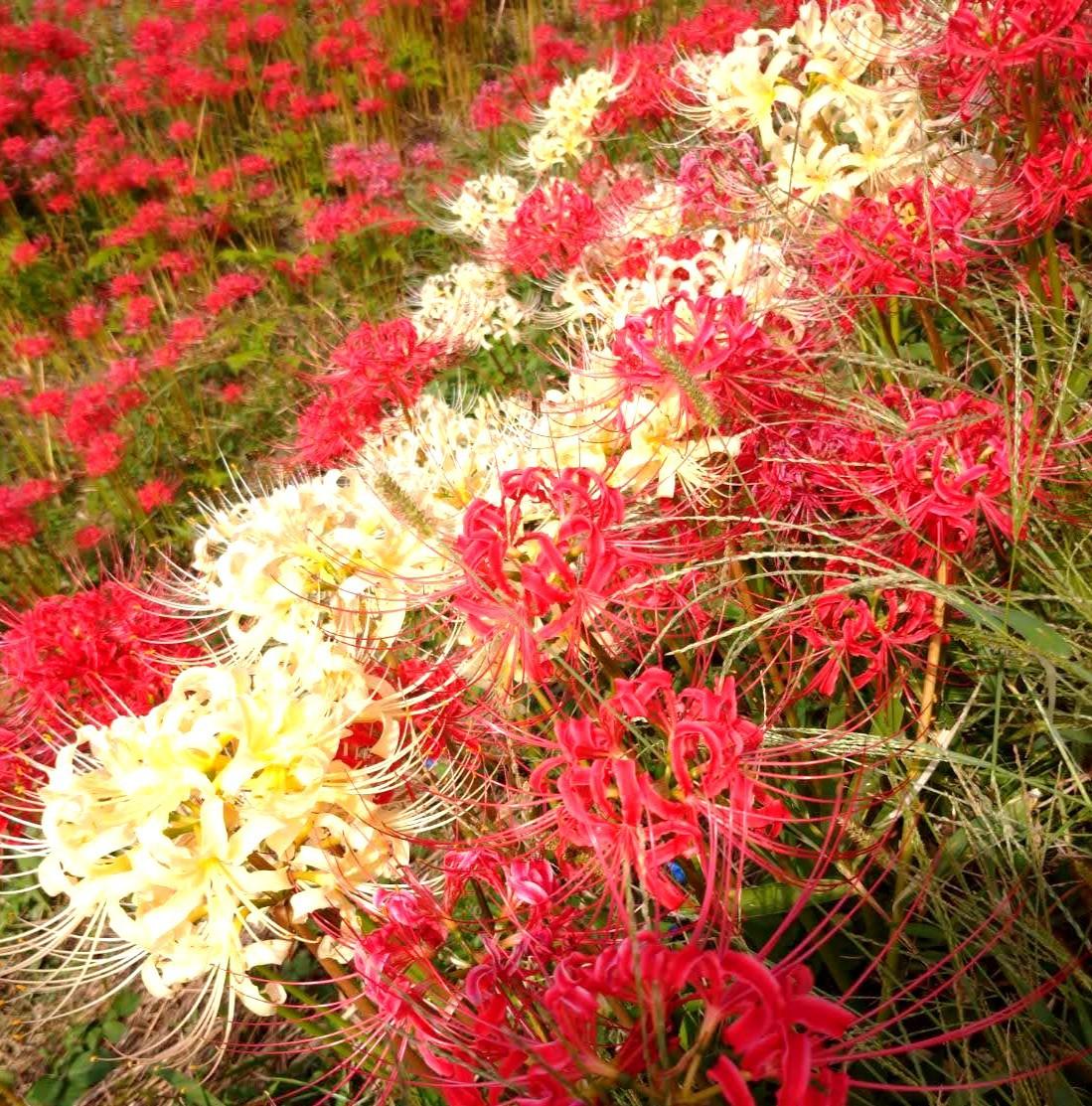 一面の彼岸花が広がる秋「ごんの秋まつり」