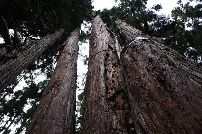 樹齢800年 高倉の大スギ