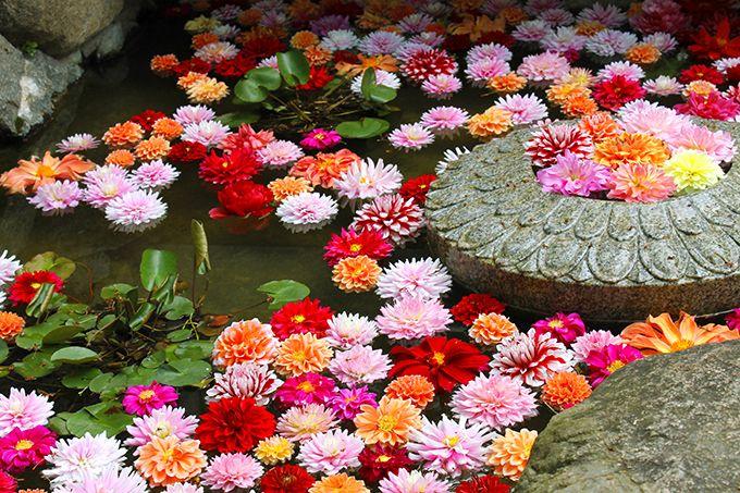 3.フォトジェニックな華の池!奈良・石楠花まつり
