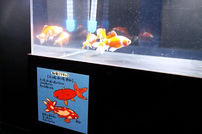 意外と知らない金魚ストーリー