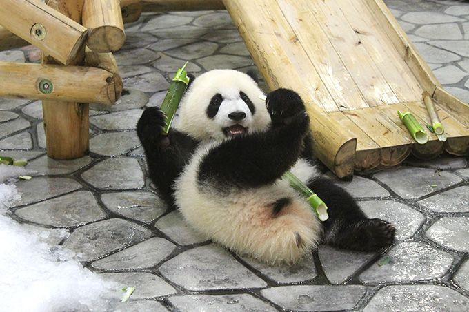 パンダの赤ちゃん彩浜に会おう!