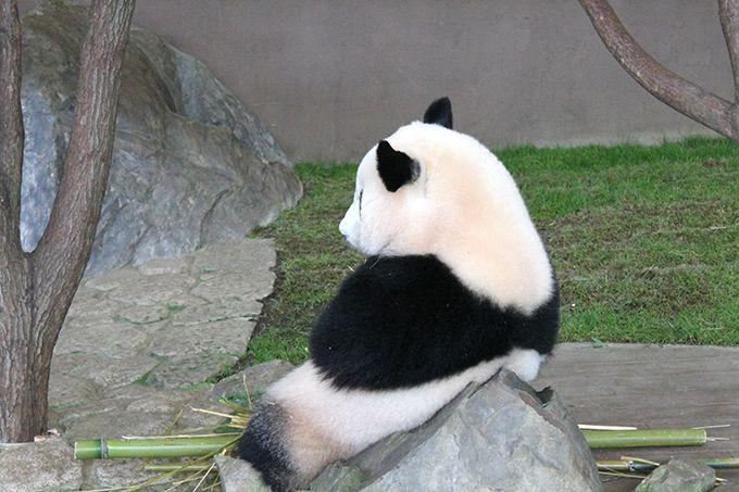 パンダラブツアーでパンダにおやつ&記念撮影