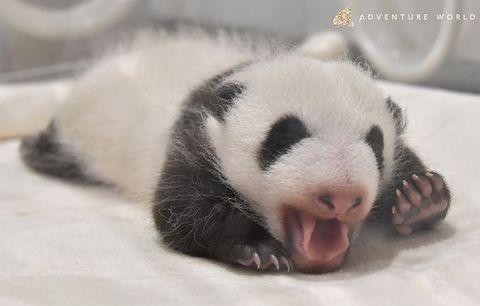 日帰りバス旅・白浜アドベンチャーワールドでパンダの赤ちゃんに会う!