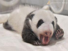 白浜アドベンチャーワールドに日帰りバス旅でパンダの赤ちゃんに会う!