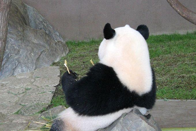 ガラスなしでパンダに会える!パンダラブ