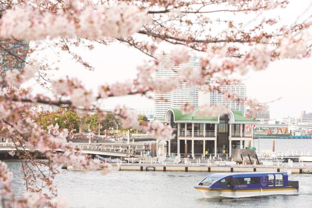 約600本の桜のトンネルをくぐる!横浜「大岡川桜クルーズ」