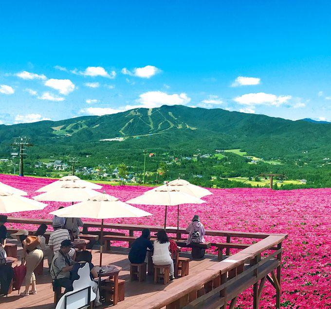 日本最大級4万株!ピンクの絶景が美しい「桃色吐息の丘」