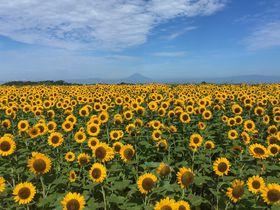 この夏は神奈川で南仏気分!「長井海の手公園 ソレイユの丘」で約10万本のヒマワリが開花予定