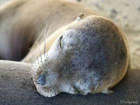 この寝顔に癒されたい!ガラパゴス諸島は自力で行けばお得にいけちゃうハートフルアイランド!