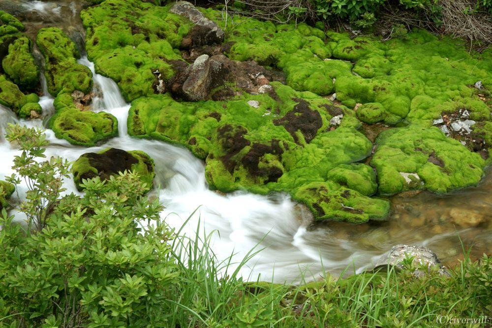 天然ビロード緑のじゅうたん! チャツボミゴケのモフモフ感がハンパない