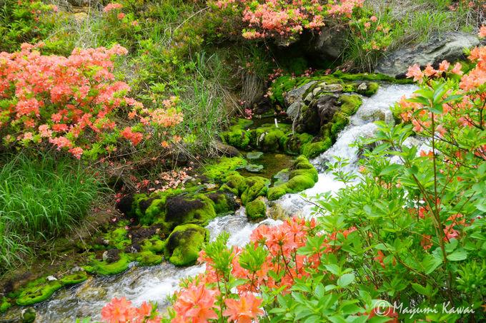 天然ビロード緑のじゅうたん!チャツボミゴケのモフモフ感がハンパない