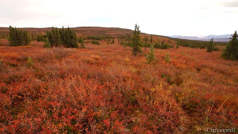 短い秋はわずか数週間!真っ赤な絨毯に変わるデナリの紅葉