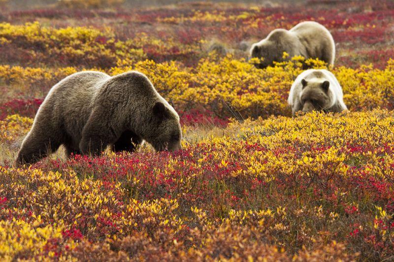 一面真っ赤な紅葉絨毯!アラスカ・デナリ国立公園に訪れるはかなくも壮大な秋