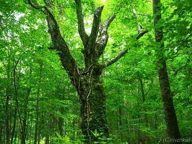 木霊宿る白神の森!秋田・岳岱のブナ林で味わう森林浴トレッキング