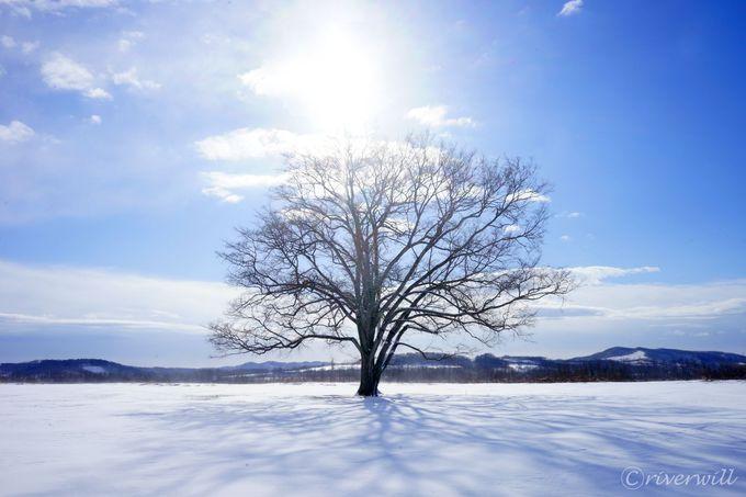 豊頃町のもうひとつのジュエリー「ハルニレの木」