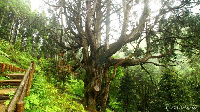 巨樹好きにおすすめ!椎葉村のすばらしき巨樹たち