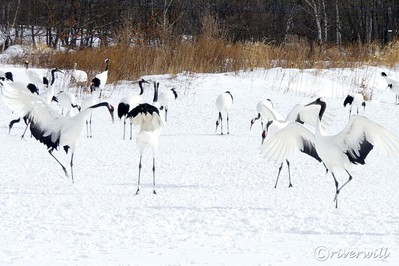 華麗なる鶴の舞!北海道鶴居村はタンチョウサンクチュアリ