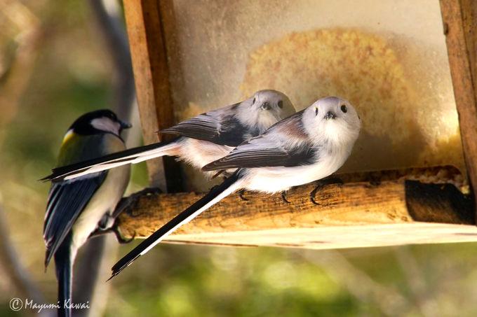 カフェに訪れる野鳥たち!そしてシマエナガも!