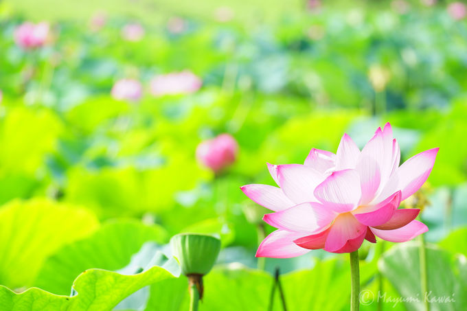 蓮に込められた花言葉と古代蓮の特徴