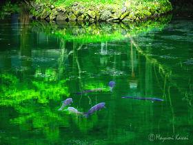 鯉が宙を舞う!?栃木佐野の名水「出流原弁天池」がジブリの世界