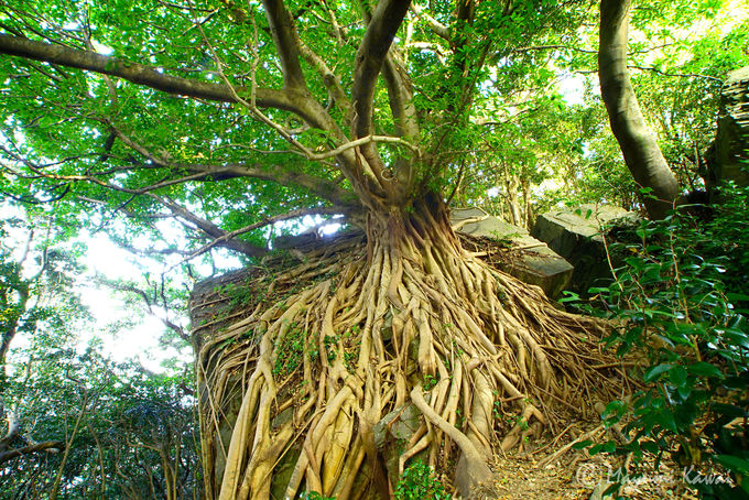 みなぎるパワー!「天草のラピュタ」の異名を持つアコウの木