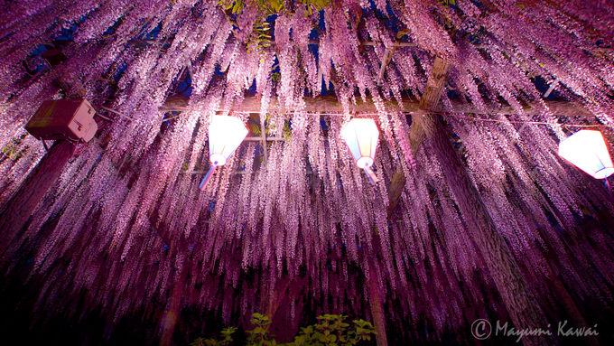 樹齢400年!玉敷神社のシンボル「たましきの大藤」