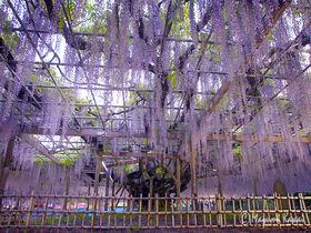 樹齢400年!絢爛豪華な大藤咲き誇る埼玉加須の玉敷神社