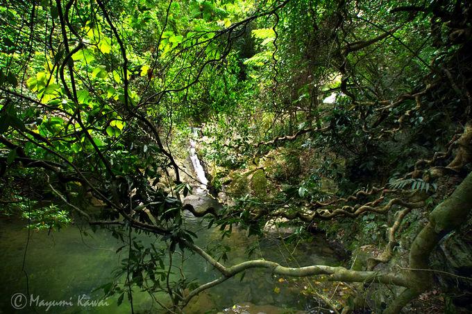世界最大級のマメ科植物・モダマ自生地