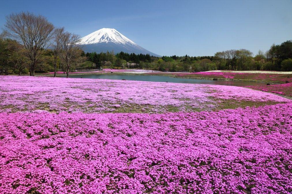 【富士山】芝桜とうまいものフェスタを満喫