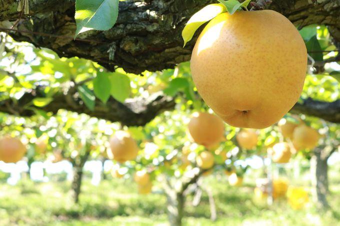 【梨狩り】ジューシーな旬の味を召し上がれ