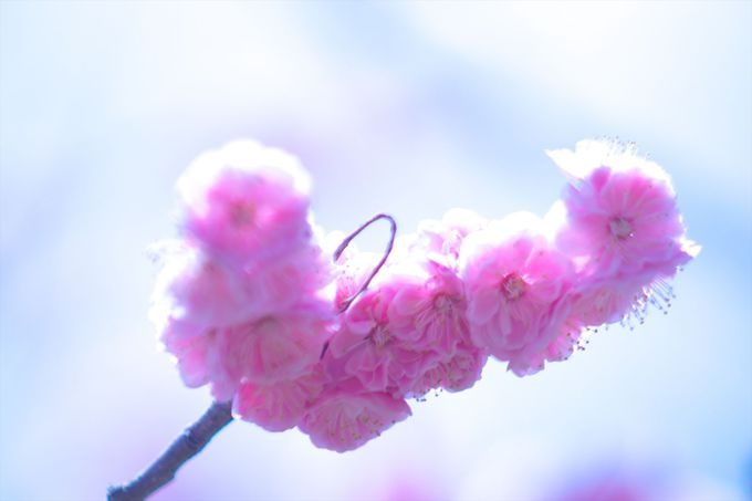 香り高き愛らしい梅をバスツアーで見に行こう