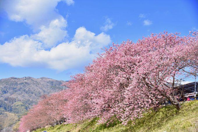 日帰りバスツアーで誰よりも早く河津桜を楽しむ