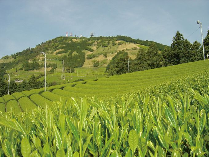 1日目午後:掛川名産「深蒸し茶」の茶摘み体験
