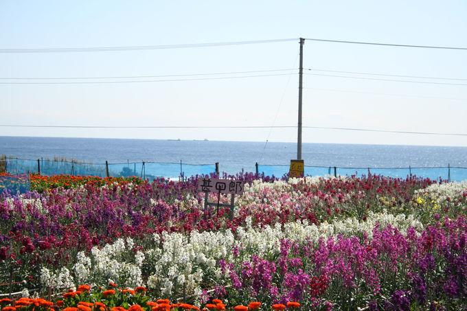 2日目午後:白間津で花摘み(南房総市)