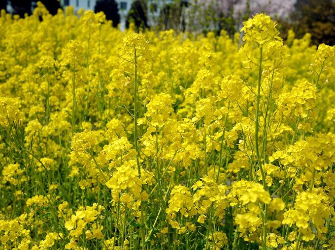 あと少しで春!菜の花を見るならココ